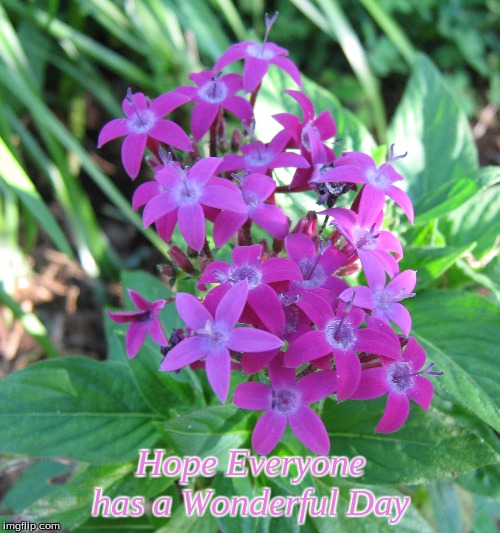 Hope Everyone has a Wonderful day | Hope Everyone has a Wonderful Day | image tagged in memes,flowers,pentas,have a wonderful day | made w/ Imgflip meme maker