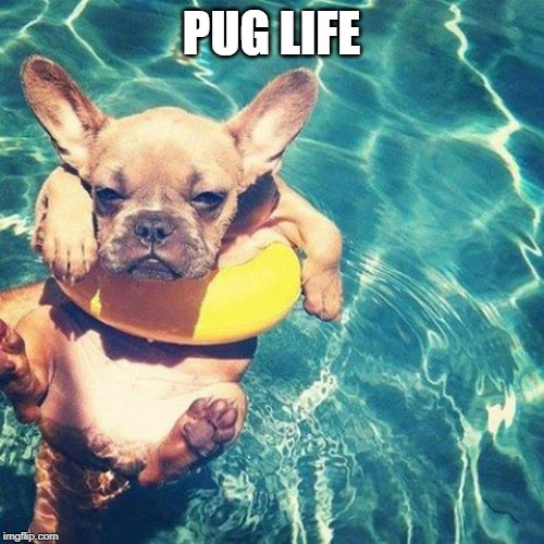 Summer is here dog pug | PUG LIFE | image tagged in summer is here dog pug | made w/ Imgflip meme maker