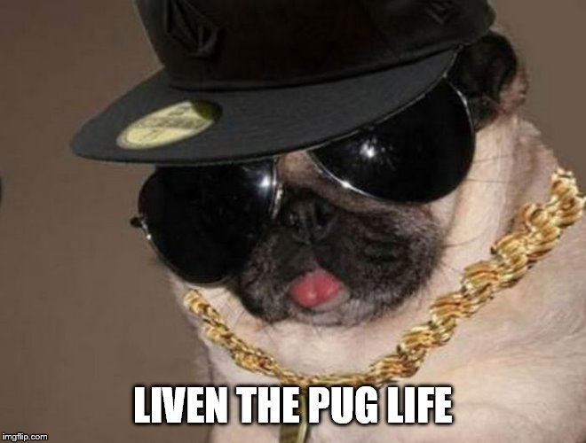 Gangster Pug |  LIVEN THE PUG LIFE | image tagged in gangster pug | made w/ Imgflip meme maker