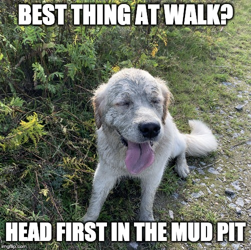 BEST THING AT WALK? HEAD FIRST IN THE MUD PIT | image tagged in isla the golden | made w/ Imgflip meme maker