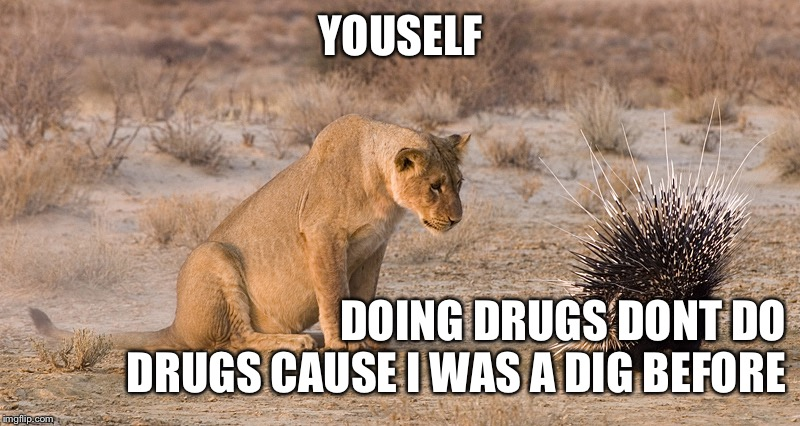 Lion and Porcupine | YOUSELF DOING DRUGS DONT DO DRUGS CAUSE I WAS A DIG BEFORE | image tagged in lion and porcupine | made w/ Imgflip meme maker