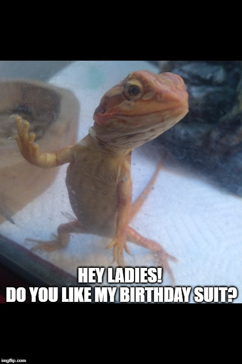 HEY LADIES!  DO YOU LIKE MY BIRTHDAY SUIT? | image tagged in reptile,bearded dragon,lizard | made w/ Imgflip meme maker