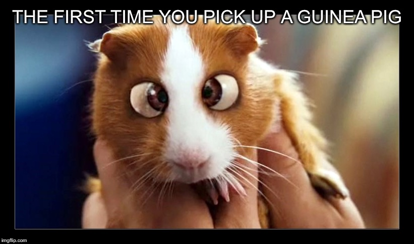 Guinea pig from bedtime stories