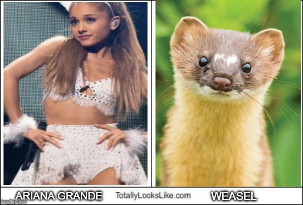 Totally Looks Like | ARIANA GRANDE WEASEL | image tagged in totally looks like,weasel,ariana grande,funny | made w/ Imgflip meme maker