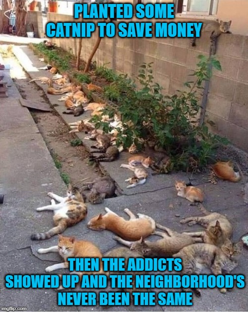 There goes the neighborhood! | PLANTED SOME CATNIP TO SAVE MONEY THEN THE ADDICTS SHOWED UP AND THE NEIGHBORHOOD'S NEVER BEEN THE SAME | image tagged in catnip,memes,cats,funny,addicts,catastrophe | made w/ Imgflip meme maker