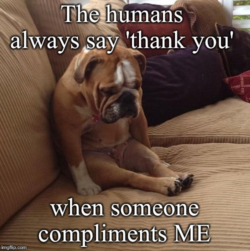bulldogsad |  The humans always say 'thank you'; when someone compliments ME | image tagged in bulldogsad | made w/ Imgflip meme maker