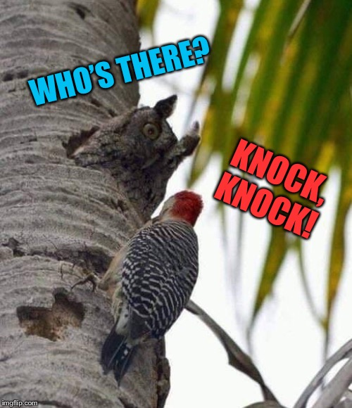 Woody who? | WHO'S THERE? KNOCK, KNOCK! | image tagged in knock knock,birds,owl,woody | made w/ Imgflip meme maker
