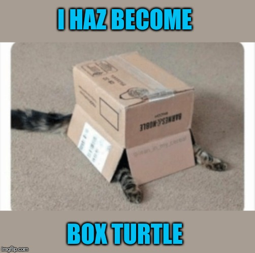 What the shell | I HAZ BECOME BOX TURTLE | image tagged in memes,cats,i can has cheezburger cat,44colt,turtles,pets | made w/ Imgflip meme maker