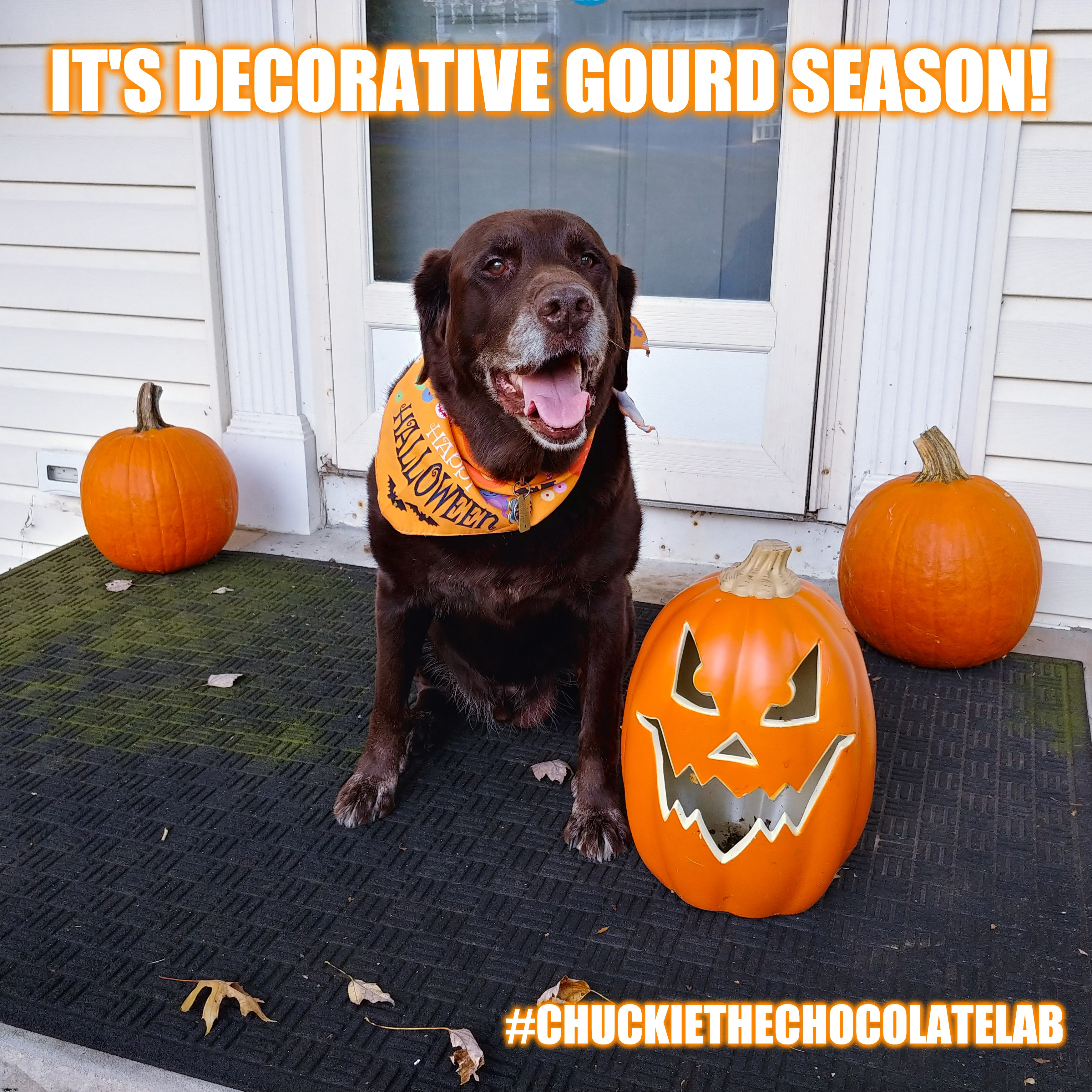 Decorative Gourd Season | IT'S DECORATIVE GOURD SEASON! #CHUCKIETHECHOCOLATELAB | image tagged in chuckie the chocolate lab,halloween,pumpkin,decorative gourd season,funny,dogs | made w/ Imgflip meme maker