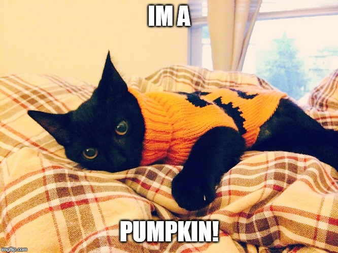 PUMPKIN CAT |  IM A; PUMPKIN! | image tagged in cats,pumpkin | made w/ Imgflip meme maker