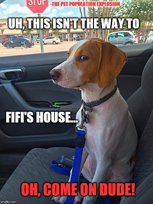 Suspicious Dog |  -THE PET POPULATION EXPLOSION; UH, THIS ISN'T THE WAY TO; FIFI'S HOUSE... OH, COME ON DUDE! | image tagged in suspicious dog | made w/ Imgflip meme maker