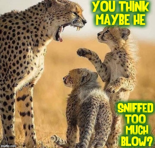 Grouchy Grouchy Grouchy! | YOU THINK MAYBE HE SNIFFED TOO  MUCH  BLOW? | image tagged in vince vance,sniffing,snort,cocaine,leopard,cheetah | made w/ Imgflip meme maker