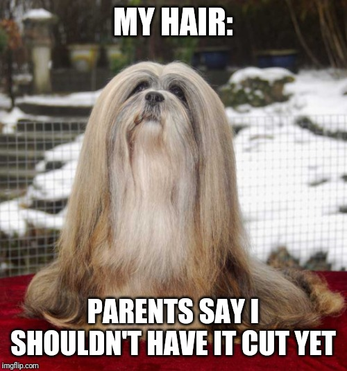 MY HAIR: PARENTS SAY I SHOULDN'T HAVE IT CUT YET | image tagged in really hairy dog | made w/ Imgflip meme maker