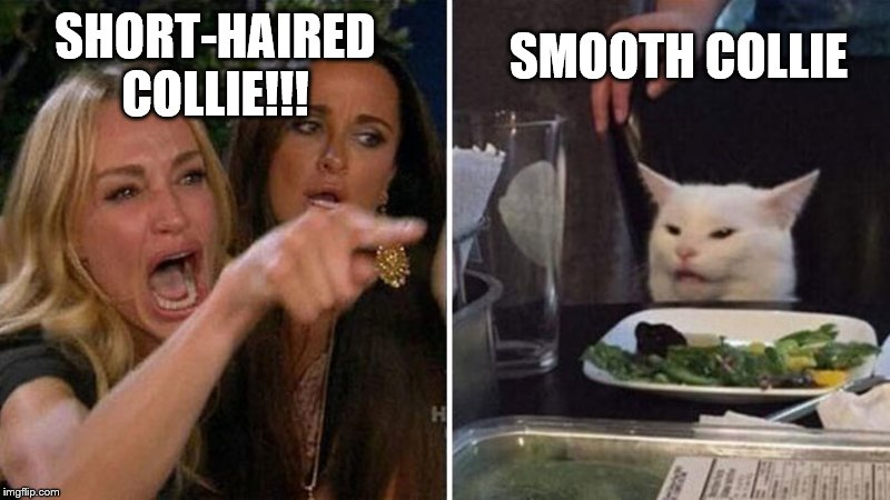 Yelling woman cat | SHORT-HAIRED COLLIE!!! SMOOTH COLLIE | image tagged in yelling woman cat | made w/ Imgflip meme maker