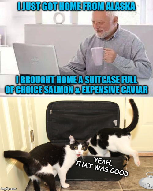 Back From Vacation |  I JUST GOT HOME FROM ALASKA; I BROUGHT HOME A SUITCASE FULL OF CHOICE SALMON & EXPENSIVE CAVIAR; YEAH, THAT WAS GOOD | image tagged in memes,hide the pain harold,alaska,fish,cats | made w/ Imgflip meme maker