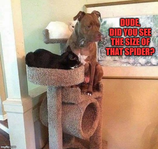 scared-y cat |  DUDE, DID YOU SEE THE SIZE OF THAT SPIDER? | image tagged in scared dog,scared cat,big spider | made w/ Imgflip meme maker