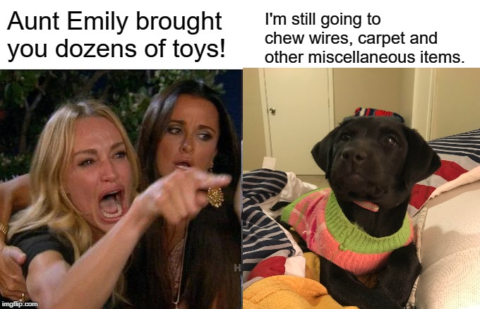 Aunt Emily brought you dozens of toys! I'm still going to chew wires, carpet and other miscellaneous items. | image tagged in dogs,labrador,woman yelling at cat | made w/ Imgflip meme maker