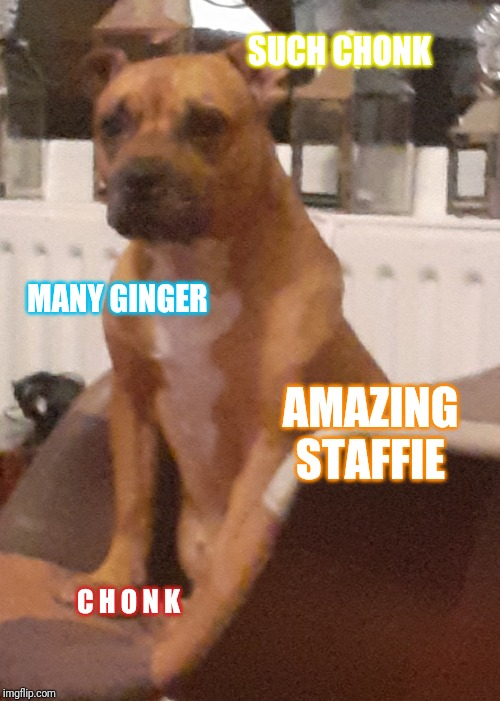 Chonker | SUCH CHONK MANY GINGER AMAZING STAFFIE C H O N K | image tagged in dog,chonk,ginger | made w/ Imgflip meme maker