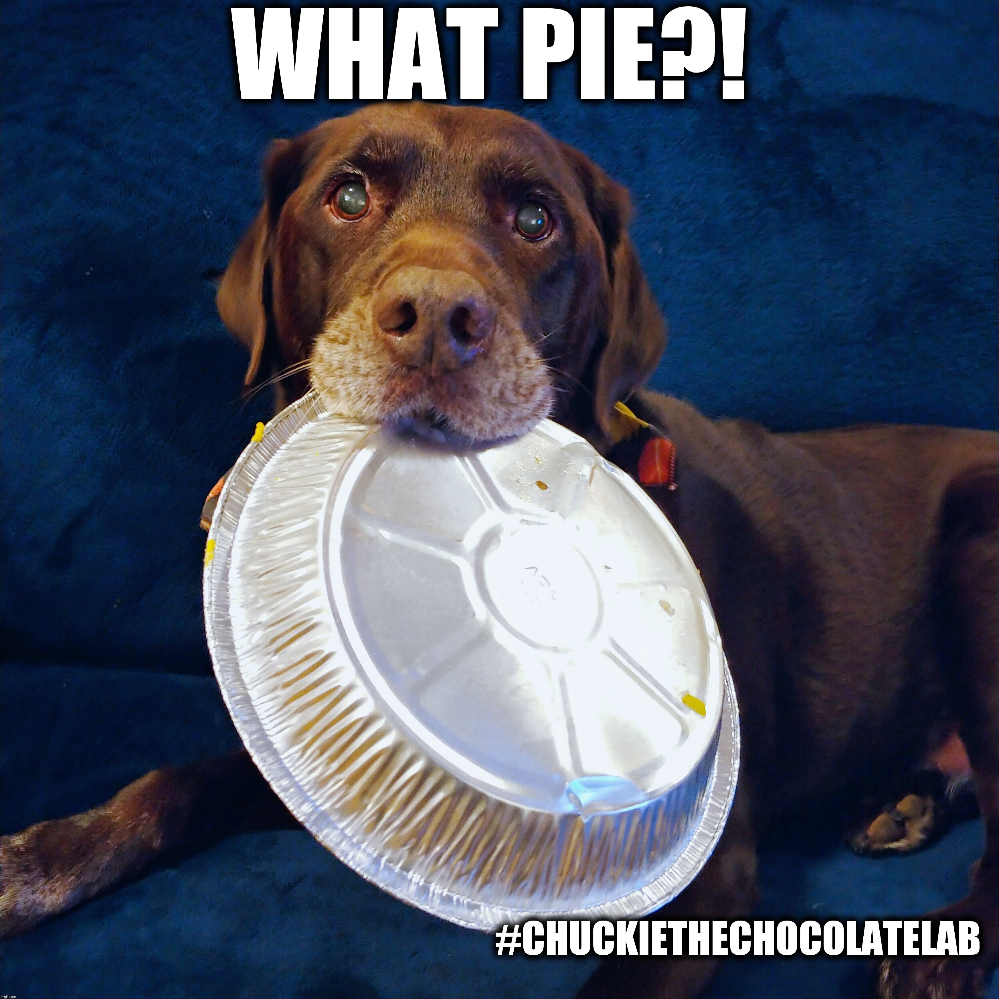 What pie?! | WHAT PIE?! #CHUCKIETHECHOCOLATELAB | image tagged in chuckie the chocolate lab,dogs,funny,pie,dessert,holidays | made w/ Imgflip meme maker