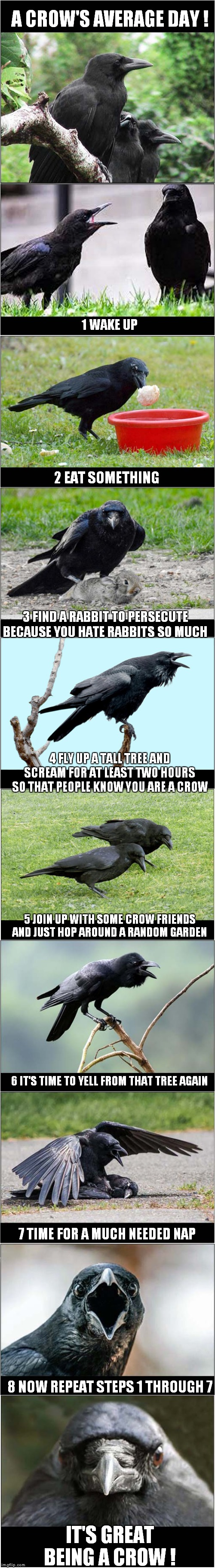 Being A Crow - It's Great ! | A CROW'S AVERAGE DAY ! IT'S GREAT BEING A CROW ! 1 WAKE UP 2 EAT SOMETHING 3 FIND A RABBIT TO PERSECUTE BECAUSE YOU HATE RABBITS SO MUCH 4 F | image tagged in fun,crow,birds | made w/ Imgflip meme maker