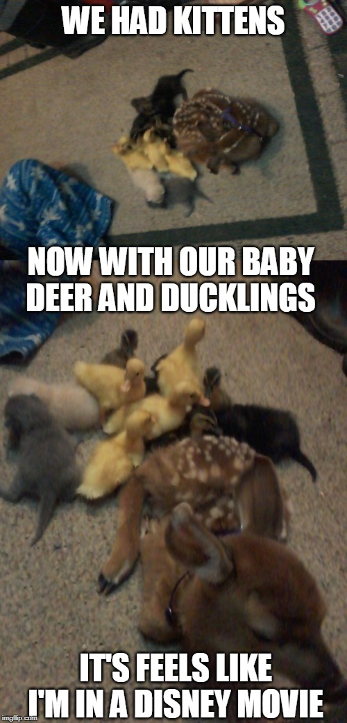 LAST MONTH WE HAD BABY BUNNIES, WISH I COULD HAVE GOT THEM IN THE PIC TOO |  WE HAD KITTENS; NOW WITH OUR BABY DEER AND DUCKLINGS; IT'S FEELS LIKE I'M IN A DISNEY MOVIE | image tagged in memes,animals,duckling,kittens,deer,cats | made w/ Imgflip meme maker