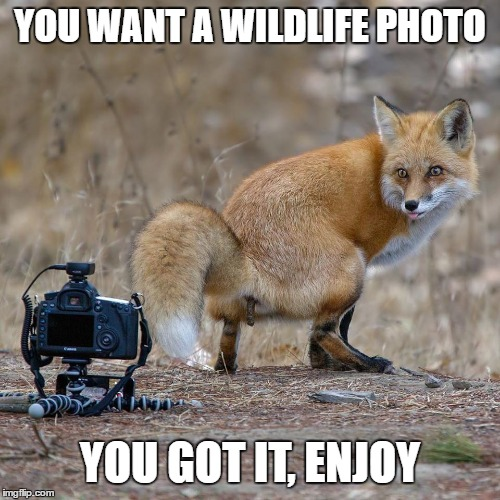 Said the fox to the trail cam. | YOU WANT A WILDLIFE PHOTO YOU GOT IT, ENJOY | image tagged in random,hunting,fox,wildlife,shit,enjoy | made w/ Imgflip meme maker