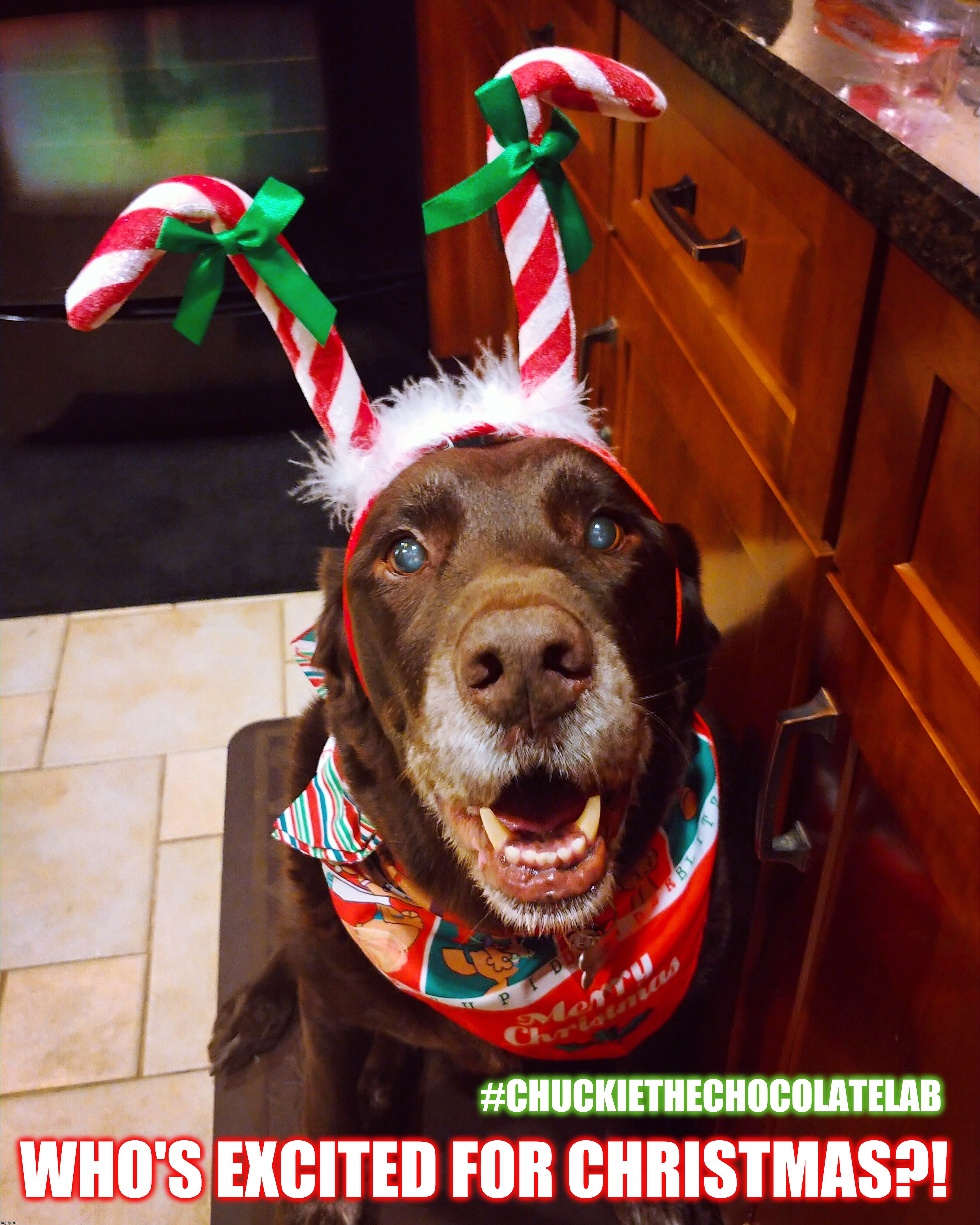 Excited for Christmas |  #CHUCKIETHECHOCOLATELAB; WHO'S EXCITED FOR CHRISTMAS?! | image tagged in chuckie the chocolate lab,funny,christmas,dogs pets funny,memes,dogs | made w/ Imgflip meme maker
