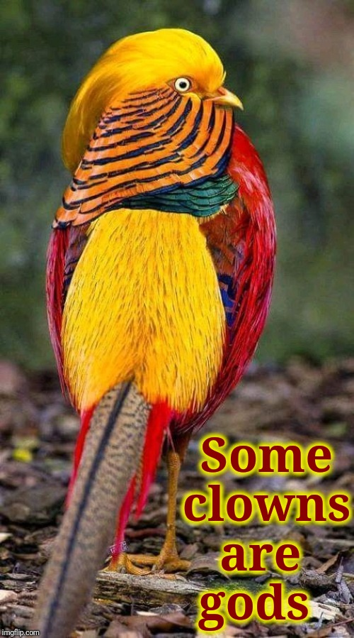 Golden Pheasant (Chrysolophus Pictus) | Some clowns are   gods | image tagged in vince vance,golden pheasant,chrysolophus pictus,crested,bird,chinese pheasant | made w/ Imgflip meme maker