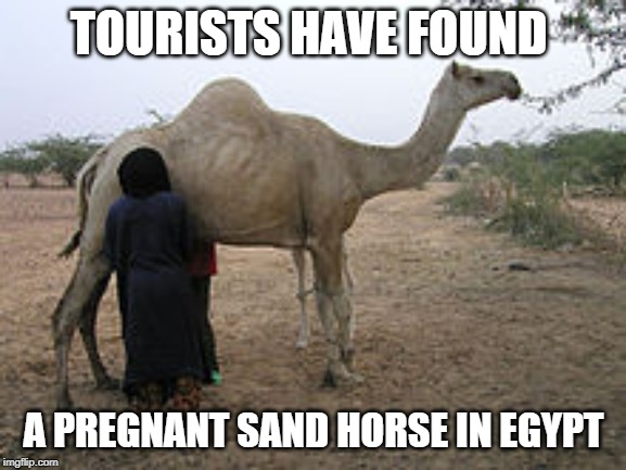 Pregnant Camel | TOURISTS HAVE FOUND A PREGNANT SAND HORSE IN EGYPT | image tagged in camel,egypt | made w/ Imgflip meme maker