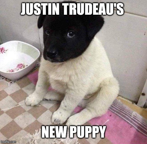 Justin Trudeau's new puppy | JUSTIN TRUDEAU'S NEW PUPPY | image tagged in blackface,justin trudeau | made w/ Imgflip meme maker