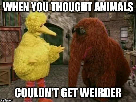 Big Bird And Snuffy |  WHEN YOU THOUGHT ANIMALS; COULDN'T GET WEIRDER | image tagged in memes,big bird and snuffy | made w/ Imgflip meme maker