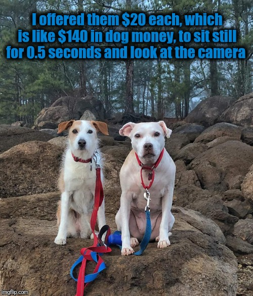 I offered them $20 each, which is like $140 in dog money, to sit still for 0.5 seconds and look at the camera | image tagged in memes,adorable,cute puppies | made w/ Imgflip meme maker