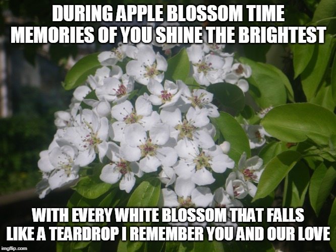 Apple blossom Time |  DURING APPLE BLOSSOM TIME MEMORIES OF YOU SHINE THE BRIGHTEST; WITH EVERY WHITE BLOSSOM THAT FALLS LIKE A TEARDROP I REMEMBER YOU AND OUR LOVE | image tagged in apples,apple blossoms,memories,love,teardrops | made w/ Imgflip meme maker