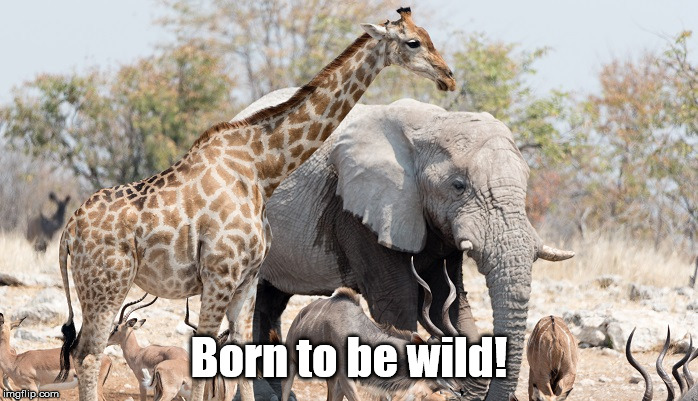 Or did the singer of this song mean something else? | Born to be wild! | image tagged in animals,born,to be,wild | made w/ Imgflip meme maker