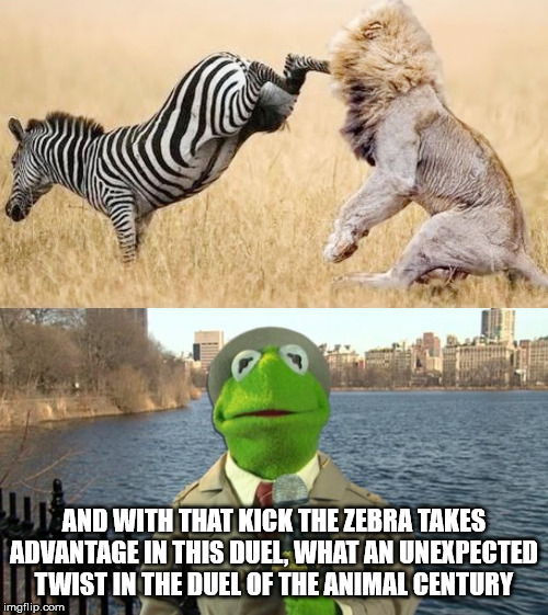 AND WITH THAT KICK THE ZEBRA TAKES ADVANTAGE IN THIS DUEL, WHAT AN UNEXPECTED TWIST IN THE DUEL OF THE ANIMAL CENTURY | image tagged in kermit news report,zebra attacks lion | made w/ Imgflip meme maker