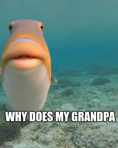 WHY |  WHY DOES MY GRANDPA | image tagged in staring fish,funny,fish,weird,wack,grandpa | made w/ Imgflip meme maker