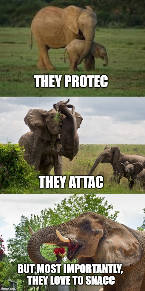 THEY PROTEC THEY ATTAC BUT MOST IMPORTANTLY, THEY LOVE TO SNACC | image tagged in elephants,funny memes,science | made w/ Imgflip meme maker