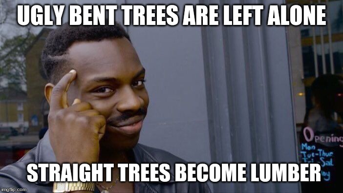 Keep a slight twist |  UGLY BENT TREES ARE LEFT ALONE; STRAIGHT TREES BECOME LUMBER | image tagged in memes,roll safe think about it,keep a slight twist,you are not normal,what's wrong with you,i knew there was something special a | made w/ Imgflip meme maker