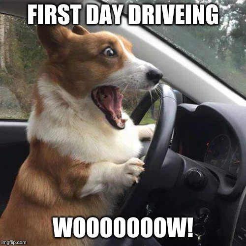 Rage Corgi |  FIRST DAY DRIVEING; WOOOOOOOW! | image tagged in rage corgi | made w/ Imgflip meme maker