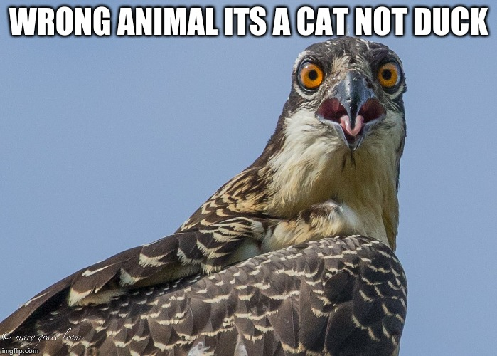 Text wrong person | WRONG ANIMAL ITS A CAT NOT DUCK | image tagged in text wrong person | made w/ Imgflip meme maker