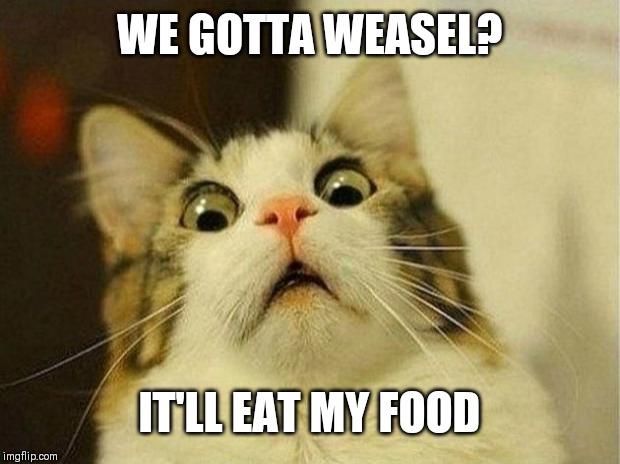 Scared Cat Meme | WE GOTTA WEASEL? IT'LL EAT MY FOOD | image tagged in memes,scared cat | made w/ Imgflip meme maker