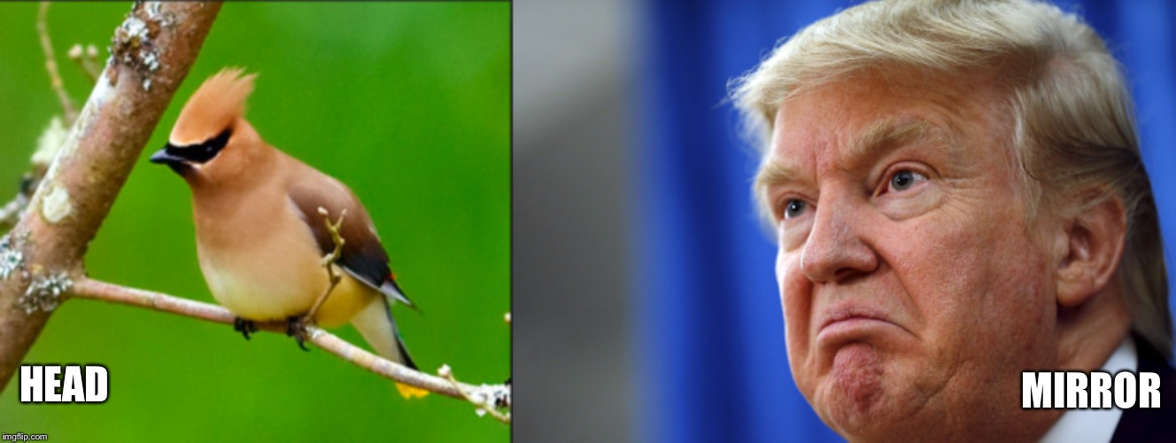 HEAD; MIRROR | image tagged in trump,bird,yellow,wig,president | made w/ Imgflip meme maker