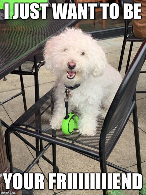 Adorable little Poodle mutt I believe |  I JUST WANT TO BE; YOUR FRIIIIIIIIEND | image tagged in adorable poodle,dog,cute,adorable,puppy,poodle | made w/ Imgflip meme maker