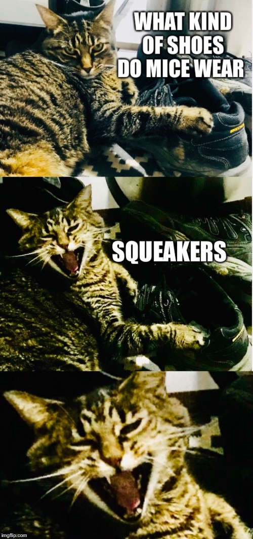 Cat shoe joke | image tagged in laughing cat,funny cat,shoes,tiger cat,jokes,mice | made w/ Imgflip meme maker