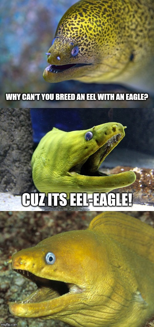 Bad joke eel |  WHY CAN'T YOU BREED AN EEL WITH AN EAGLE? CUZ ITS EEL-EAGLE! | image tagged in bad joke eel | made w/ Imgflip meme maker