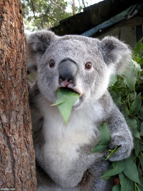 image tagged in memes,surprised koala | made w/ Imgflip meme maker