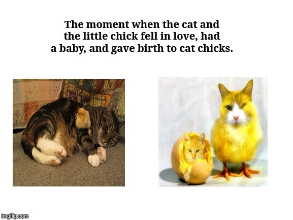 The cat and the little chick |  The moment when the cat and the little chick fell in love, had a baby, and gave birth to cat chicks. | image tagged in blank white template,cats,cat,chicks,memes,funny | made w/ Imgflip meme maker