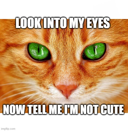 Look-Into-My-Eyes |  LOOK INTO MY EYES; NOW TELL ME I'M NOT CUTE | image tagged in cats,funny cats,funny cat memes,funny,memes | made w/ Imgflip meme maker