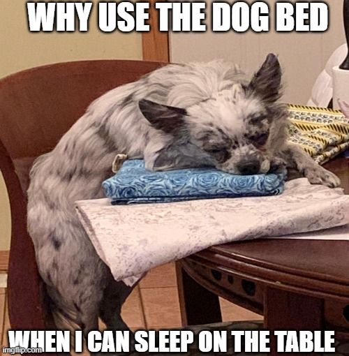 WHY USE THE DOG BED; WHEN I CAN SLEEP ON THE TABLE | image tagged in dogs,dog memes | made w/ Imgflip meme maker
