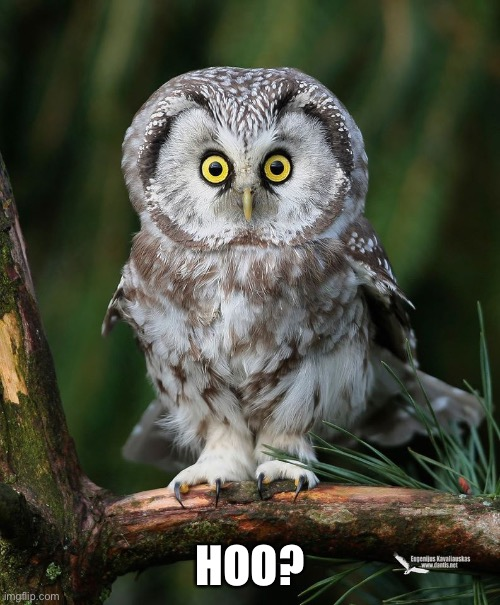 Owl | HOO? | image tagged in owl | made w/ Imgflip meme maker